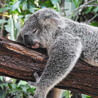 Koala endormi sur une branche