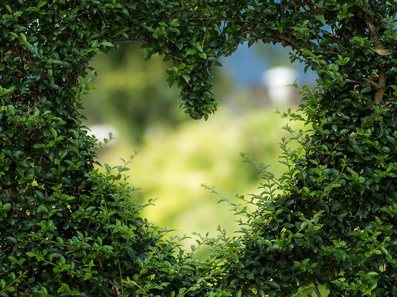 Coeur dans une haie de buis